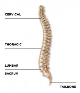 structure of the back bone